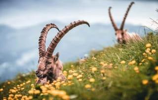 Deux bouquetins dans les herbes et fleurs des montagnes des Alpes-Maritimes.